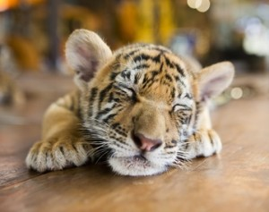 small tiger sleeping